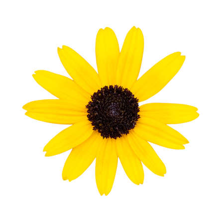 golden daisy: Black-eyed Susan (Rudbeckia hirta) isolated on a white background with a clipping path Stock Photo