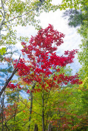 great: Autumn Sourwood tree  Oxydendrum arboreum in the Great Smoky Mountains National Park Stock Photo