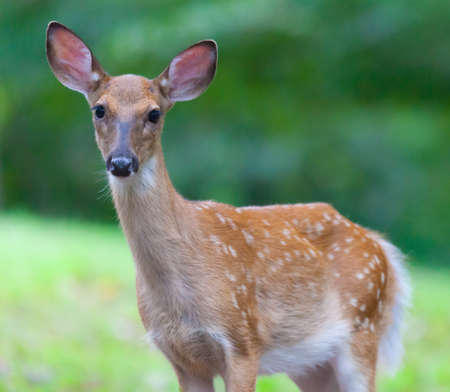 virginianus: Young White-tailed Deer Odocoileus virginianus looking at the camera Stock Photo