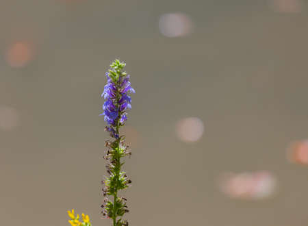 lobelia: Great Blue Lobelia Lobelia siphilitica with a blurred background