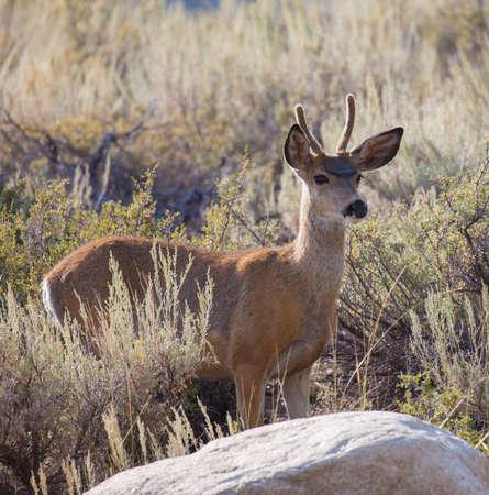 mule: Young Buck Mule Deer Odocoileus hemionus in the high desert
