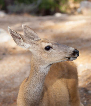 the sierras: Closeup of Mule Deer Doe Odocoileus hemionus