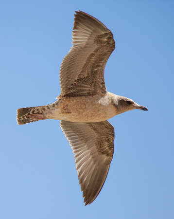 immature: Immature California Gull Larus californicus flying Stock Photo
