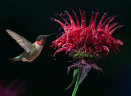 ruby throated: Male Ruby-throated Hummingbird (Archilochus colubris) on Bee Balm Stock Photo