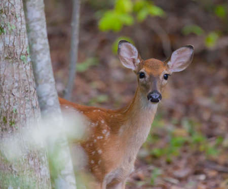 virginianus: Young White-tailed Deer (Odocoileus virginianus) looking at the camera Stock Photo
