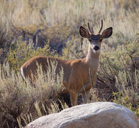 high sierra: Young Buck Mule Deer (Odocoileus hemionus) in the Eastern Sierra high desert of California