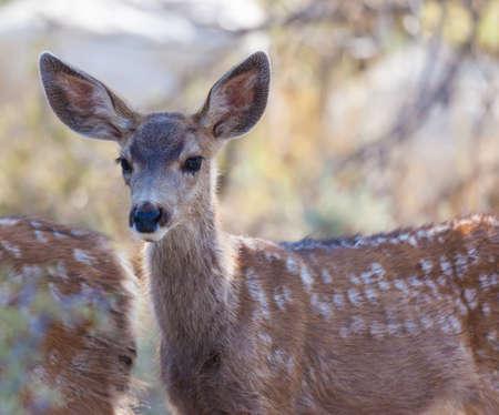 mule: Mule Deer Fawn (Odocoileus hemionus) in the high desert of Bridgeport, California Stock Photo