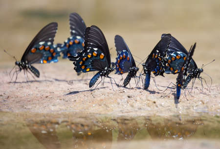 swallowtails: A group of Pipevine Swallowtails (Battus philenor) taking minerals near a river Stock Photo