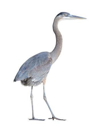 herodias: Great Blue Heron (Ardea herodias) on a white background  Stock Photo