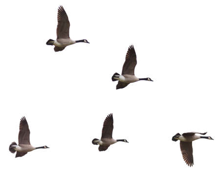 branta: Group of Canada Goose (Branta canadensi) flying in formation on a white background