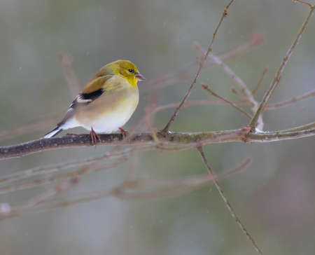 goldfinch: An American Goldfinch (Spinus tristis) perched on a branch during a snow storm