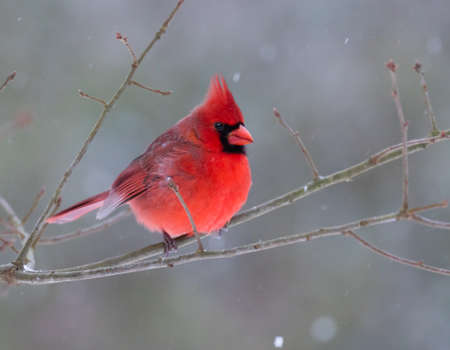 redbird: A beautiful male Northern Cardinal Cardinalis cardinalis perched on a branch on a snowy day Stock Photo