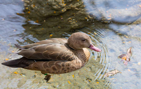 dabbling: Madagascar Teal Anas bernieri swimming in a pond Stock Photo