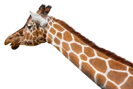 jirafa fondo blanco: Jirafa Giraffa camelopardalis reticulata la cabeza y el cuello aislado en un fondo blanco Foto de archivo