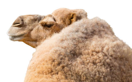 one humped: View from back of dromedary camel isolated on a white background