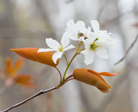 early blossoms: Serviceberry (Amelanchier) flower blossoms in early spring Stock Photo