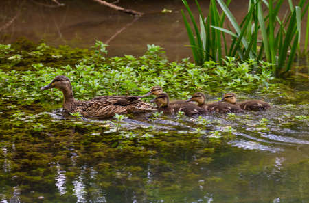 Female Mallard duck (Anas platyrhynchos) with four ducklings