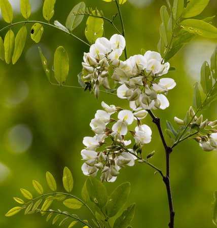 faboideae: Black Locust flowers (Robinia pseudoacacia) blooming in spring Stock Photo