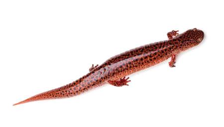 salamandra: Salamander rojo (ruber Pseudotriton) aislado en un fondo blanco