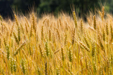 winter wheat: Field filled with almost ready to harvest winter wheat (riticum aestivum)