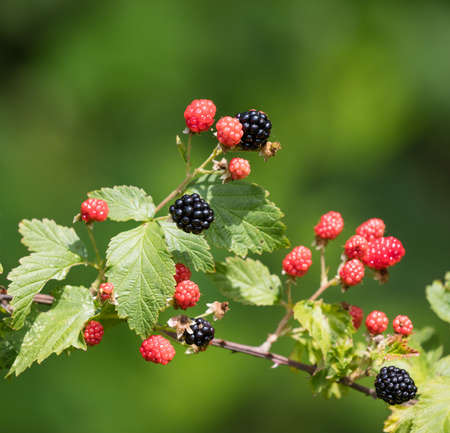 ripeness: Group of ripe and ripening wild blackberries outdoors