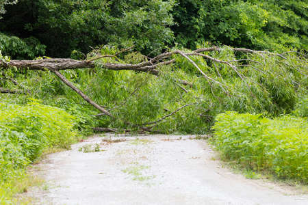 willow tree: Willow tree blown down across the road by a storm
