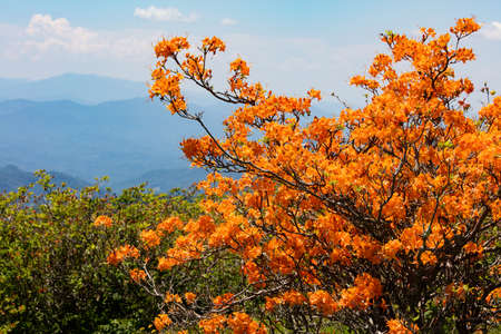 roan: Flame Azaleas at Round Bald near Roan Mountain