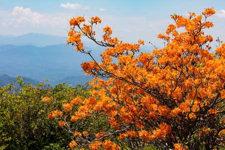 roan: Flame Azaleas at Round Bald near Roan Mountain