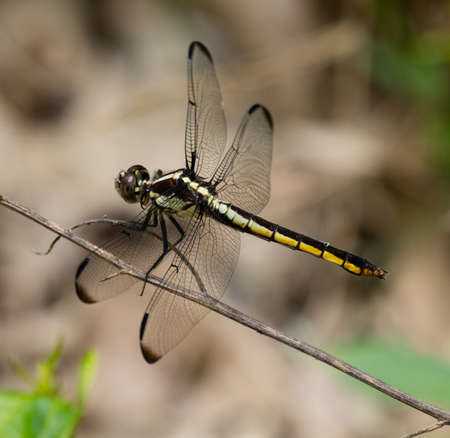 Female Slaty Skimmer (Libellula incesta) Dragonfly resting on a stem Stock Photo