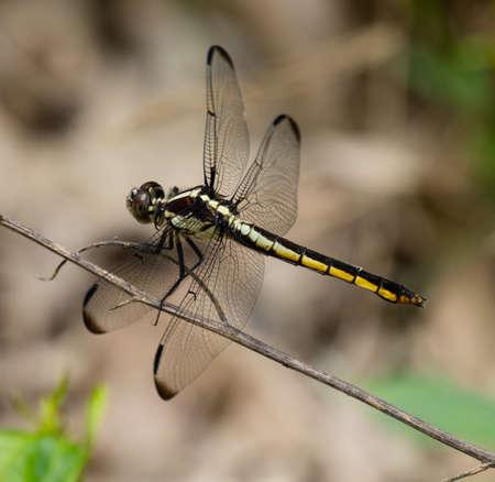 libellula: Female Slaty Skimmer (Libellula incesta) Dragonfly resting on a stem Stock Photo
