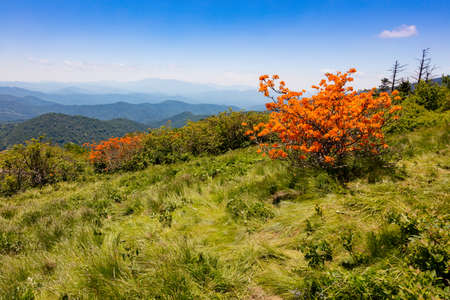 roan: Flame Azaleas blooming on Round Bald near Roan Mountain