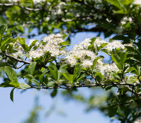 White Hawthorn (Crataegus) flowers blooming in summer