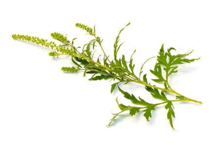 ajenjo: La ambrosía común (Ambrosia artemisiifolia) sobre un fondo blanco Foto de archivo