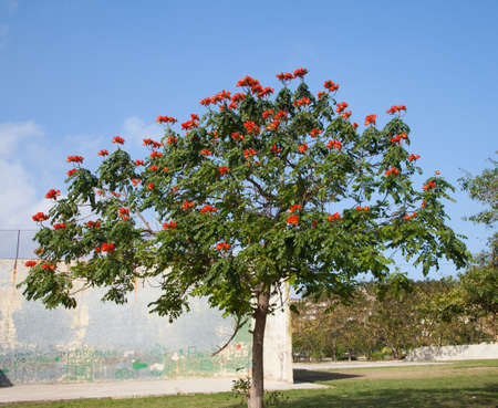 invasive species: African tuliptree (Spathodea) with blooming red flowers