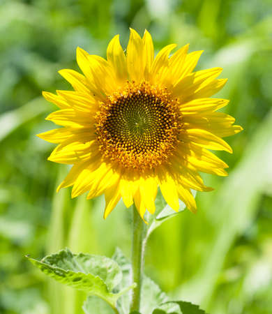 A beautiful sunflower (Helianthus) growing on a sunny day Stok Fotoğraf