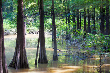 Bald Cypress trees in Fourmile Slough at Camden Wildlife Management Area in Tennessee Stok Fotoğraf