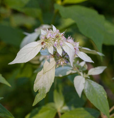 Mountain Mint (Pycnanthemum) leaves and flowers blooming in summer