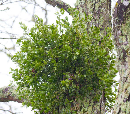 A large clump of mistletoe (Santalales) growing on a tree