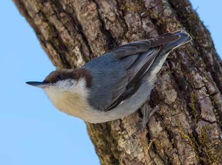 Brown-headed Nuthatch (Sitta pusilla) perched on a trunk of a tree