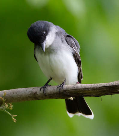 A handsome Eastern Kingbird (Tyrannus tyrannus) perches on a branch in early spring