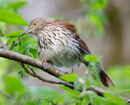 A beautiful Brown Thrasher (Toxostoma rufum) fluffs up his feathers on a spring morning Stok Fotoğraf