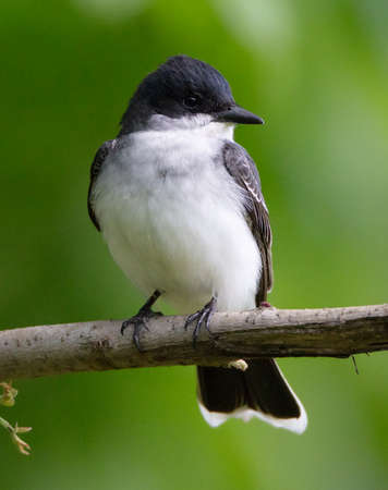 Tyrannus tyrannus stock photos royalty free tyrannus tyrannus images a handsome eastern kingbird tyrannus tyrannus perches on a branch in early spring thecheapjerseys