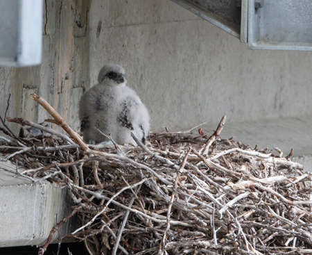 Gyr Falcon (Falco rusticolus) nestling on a nest under a bridge in Nome, Alaska Stok Fotoğraf