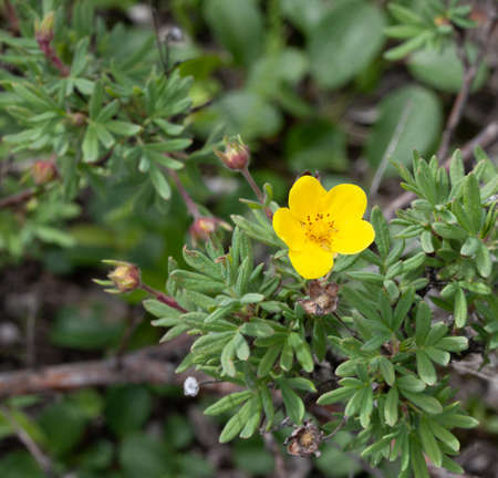 A yellow flower blooms on a Tundra Rose (Dasiphora fruticosa) bush in Nome, Alaska