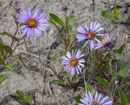 A group of violet Arctic Asters (Eurybia sibirica) blooming in Nome, Alaska