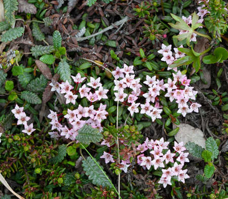 A group of small, Alpine Azaleas (Kalmia procumbens) in Nome, Alaska tundra