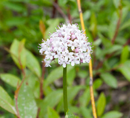 Closeup of Capitate Valarian flower cluster from the tundra in Nome, Alaska