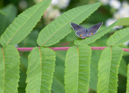 A Gray Hairstreak (Strymon melinus) butterfly perches with its wings open on some sumac leaves Stok Fotoğraf