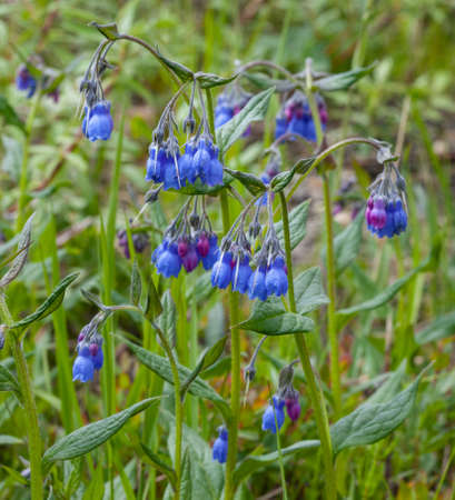 A group of beautiful Tall Bluebell Flowers (Mertensia paniculata) blooming in Nome, Alaska Stok Fotoğraf