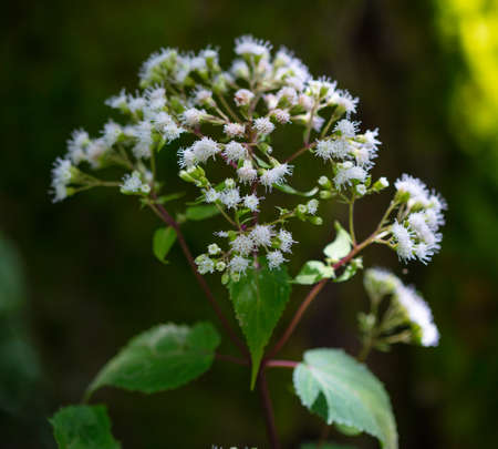 The white flowers of Late-flowering Boneset (Eupatorium serotinum) in the mountains of North Carolina Stok Fotoğraf
